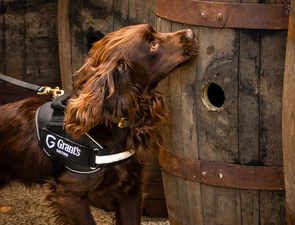 Meet Rocco, the sniffer dog who runs quality checks at this distillery to ensure your whisky is up to the mark