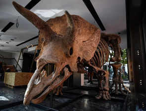Fossilised remains of 'Big John', the largest known triceratops dinosaur, up for sale