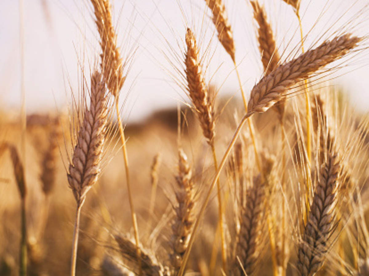 Wheat: India's wheat production may touch all-time high - The Economic Times