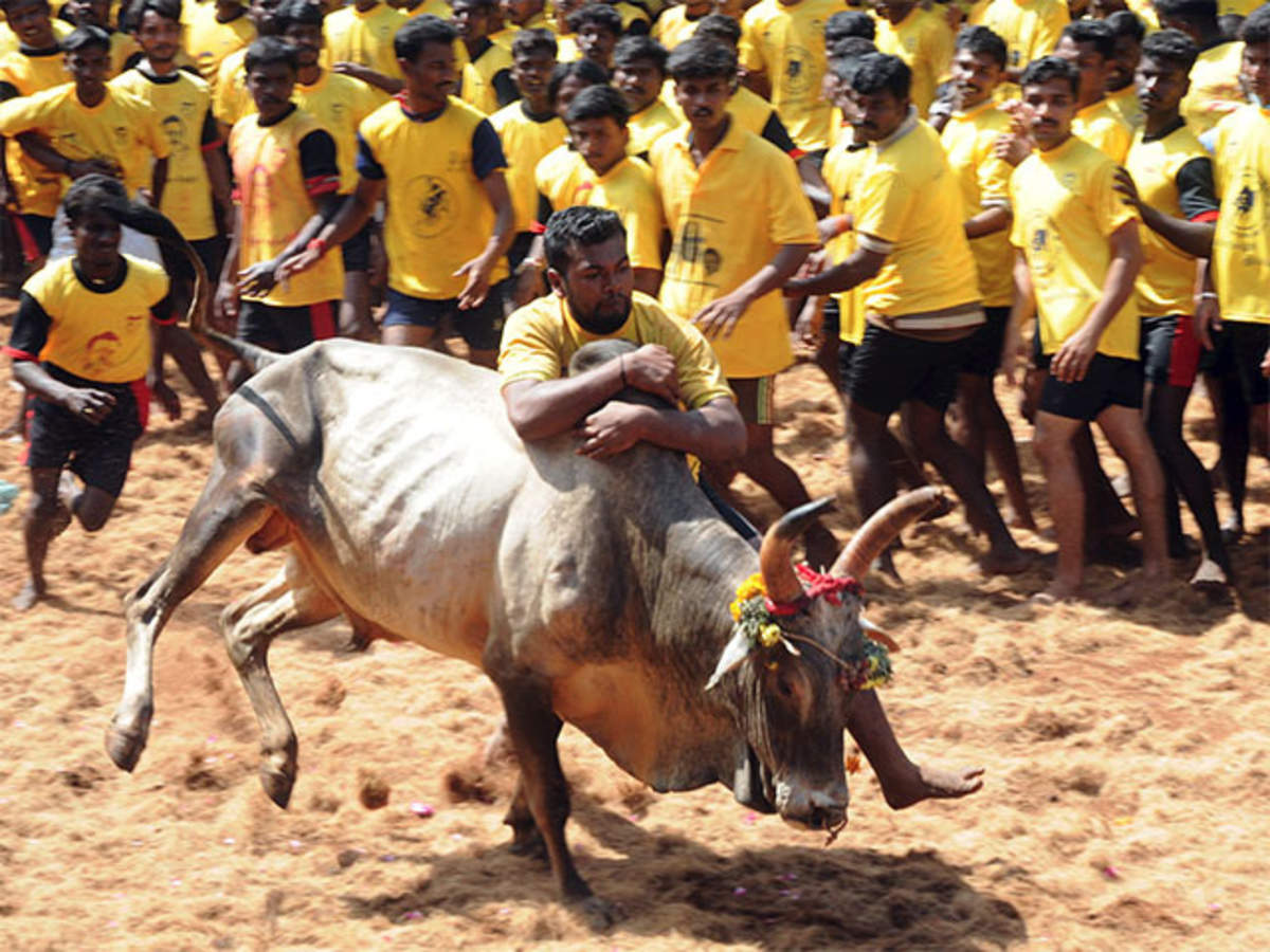 Jallikattu cheat sheet: 10 things you should know about the bull-taming sport - The Economic Times