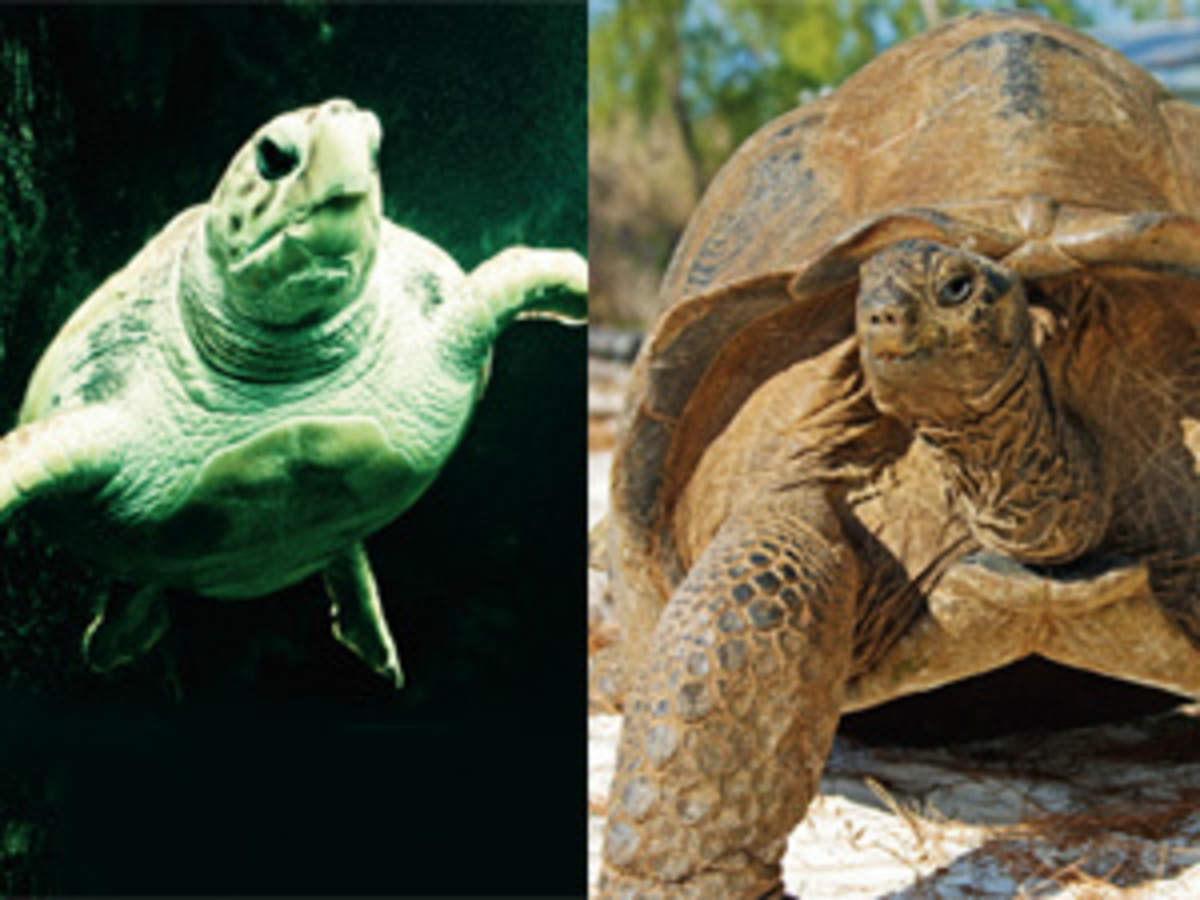 Turtle Vs Tortoise Turtles Are Aquatic And Omnivores While Tortoises Live On Land And Are Herbivores The Economic Times