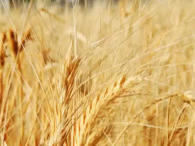Wheat procurement may rise 10 pc at 427 lakh tonnes in 2021-22 marketing year
