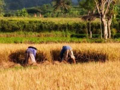 Govt buys paddy worth Rs 1.26 lakh crore at MSP so far this kharif marketing season