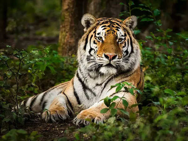 Covid 19 Pandemic Tiger At New York S Bronx Zoo Tests Positive The Economic Times Video Et Now