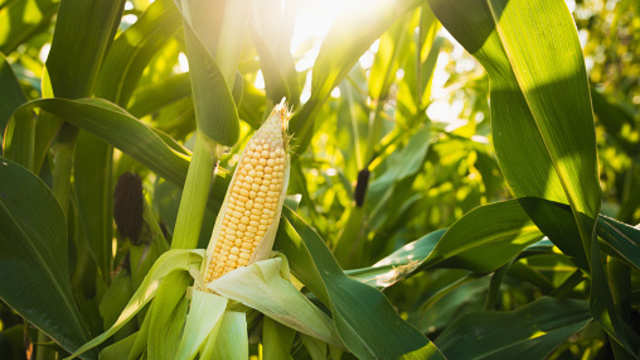 Corn: Corn traders expect import duty to be slashed to 10