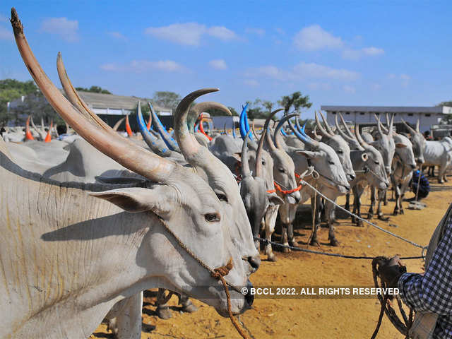 Great Indian Cattle Count An Inside Story The Economic Times