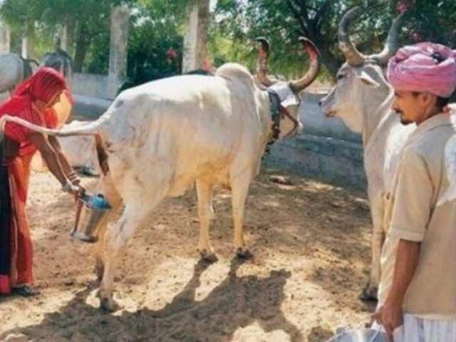जानिए कहां बिक रहा दूध से महंगा गौमूत्र - The Economic Times