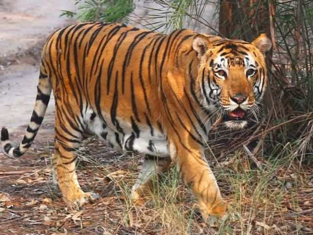 Poaching still remains the biggest threat to Indian tigers - The ...