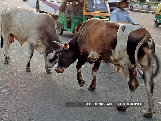 What Made Rural India Abandon Its Cattle In Droves The